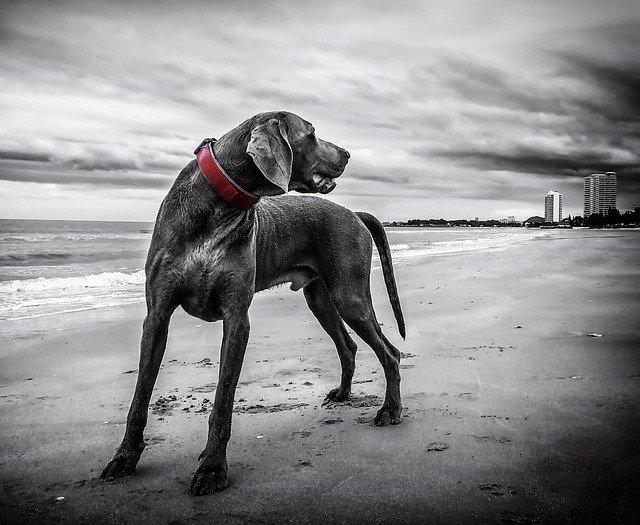 nagytestű kutya